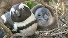 view : Coming Up: The African Penguin