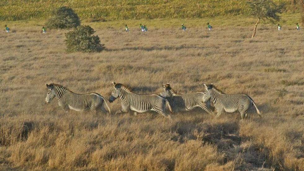 Participants running with zebras in Lewa Marathon