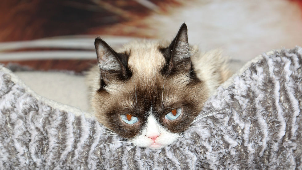 A Getty image of Grumpy Cat.
