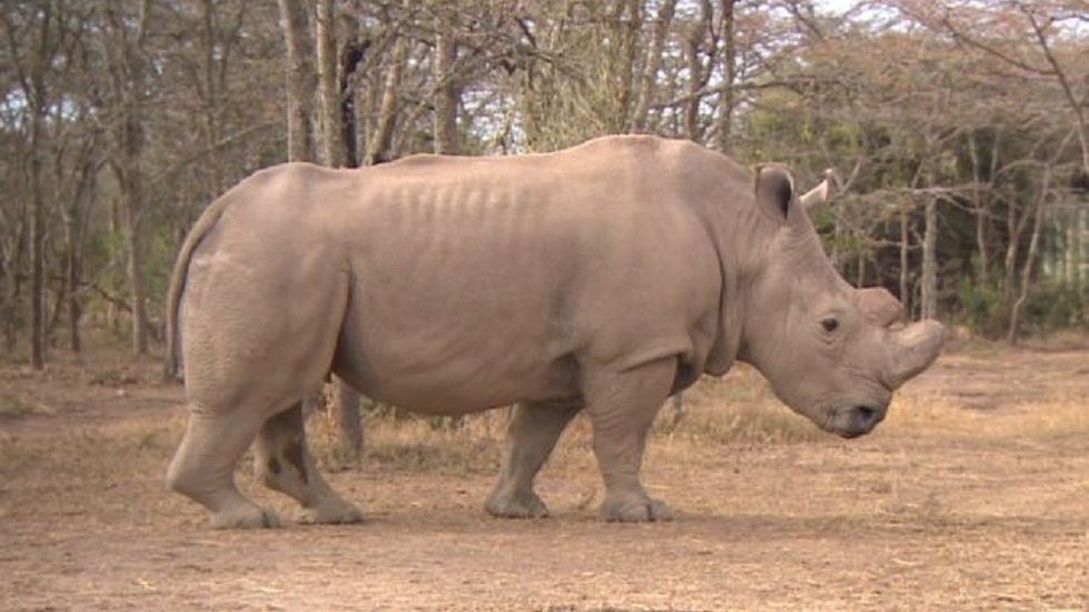 Kenya's white male rhino at Ole Pejeta Conservancy
