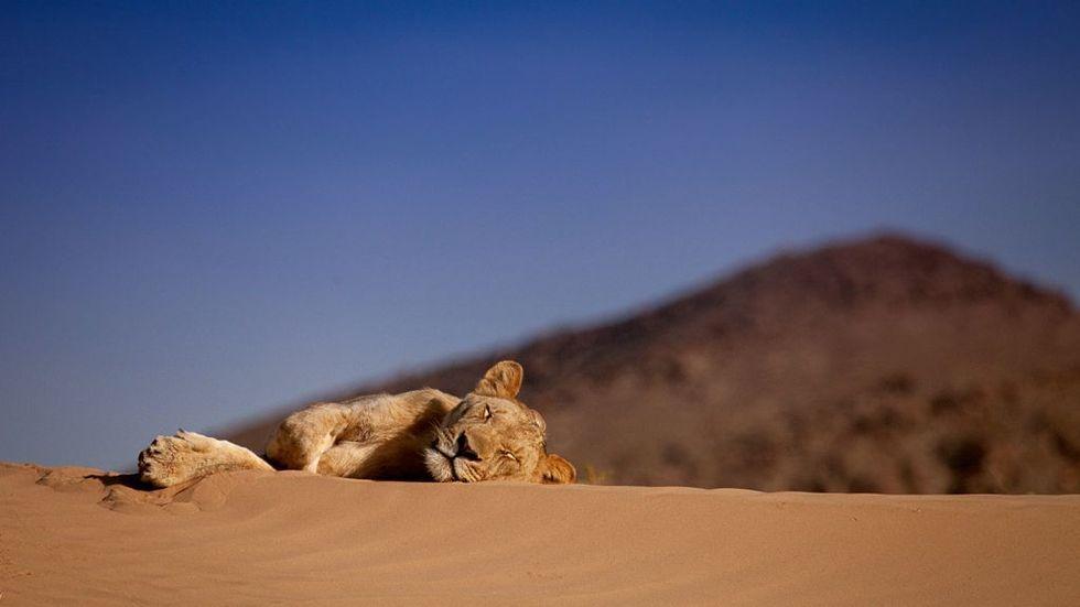 Nat Geo Wild, Vanishing, Kings, Desert, Lions of Namib.