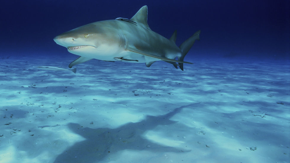 Shark Intelligence, Shark, brains