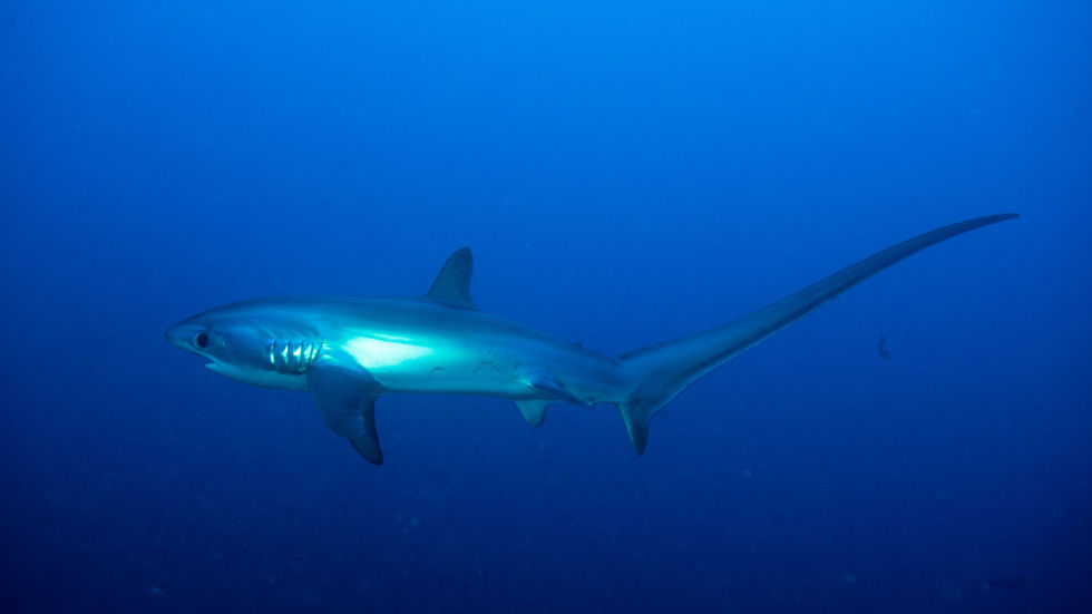 Shark Record Breakers, thresher, longest tail