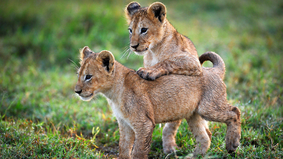 Planet Earth II, Grasslands, lion cubs