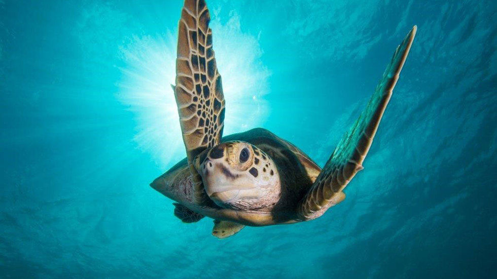 turtle swimming to camera in the sea